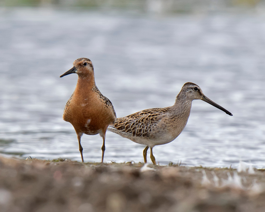 Red Knot and Short-billed Dowitcher