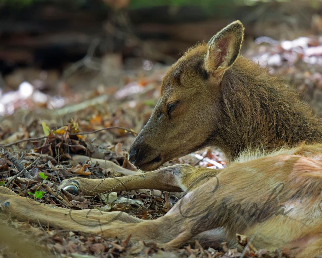 PA Elk (Sept, 2015)