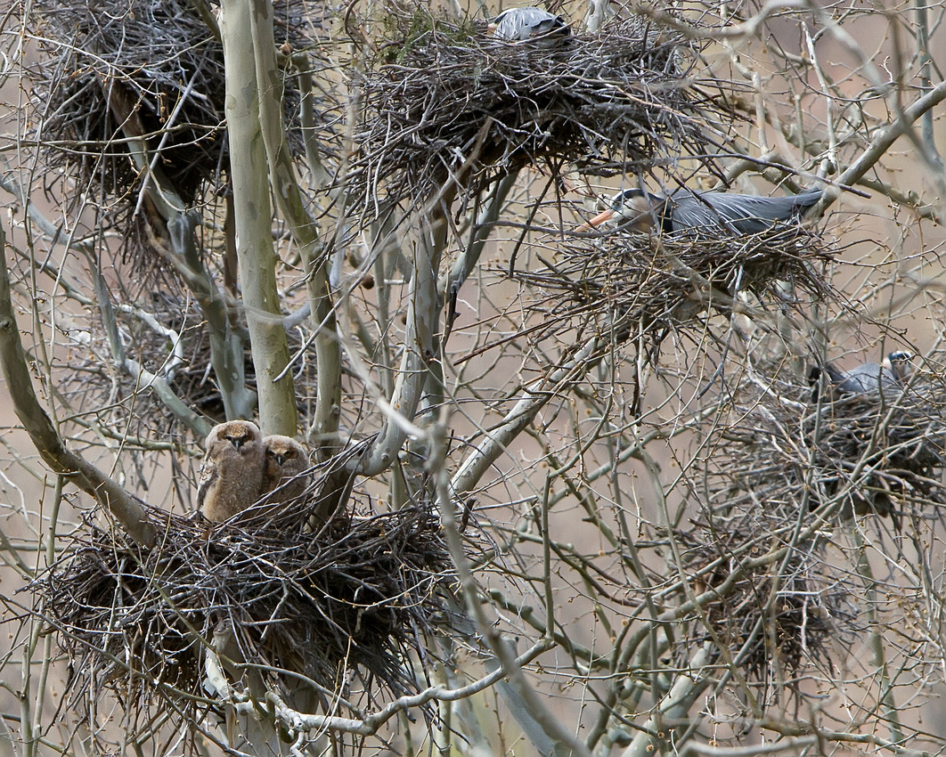 Great Horned Owl Nestlings & Great Blue Heron
