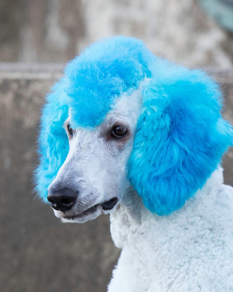 Generation X Poodle