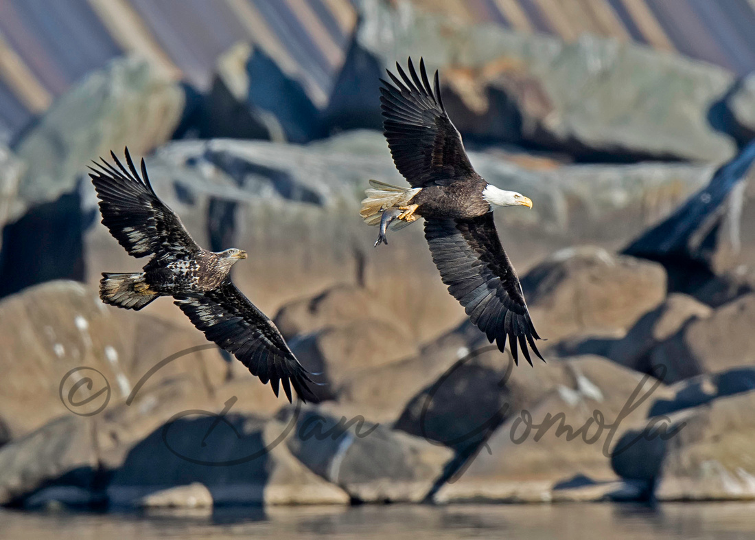 Bald Eagles Chasing After Catching a Fish