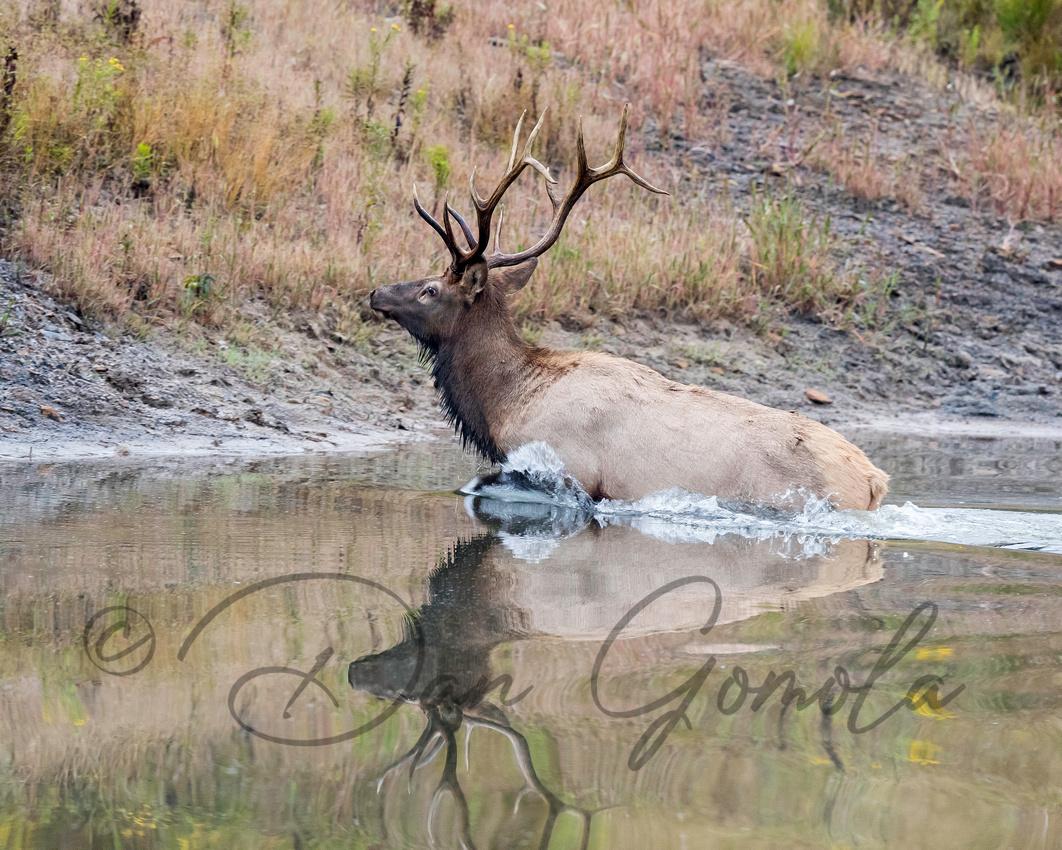 PA Elk (Sept, 2017)