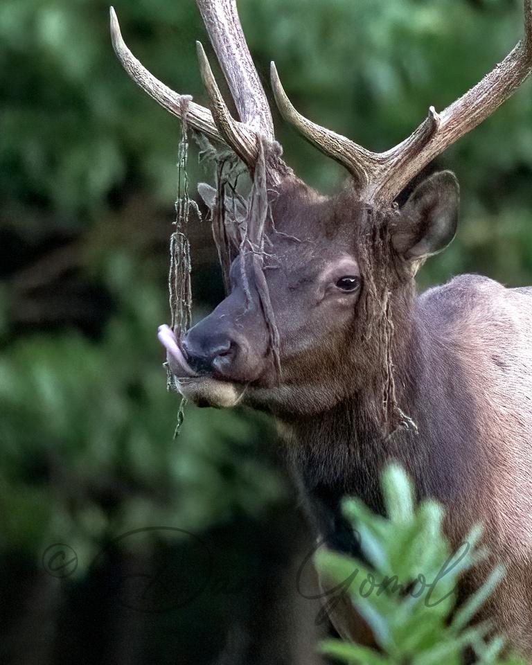 PA Elk (Aug, 2021)