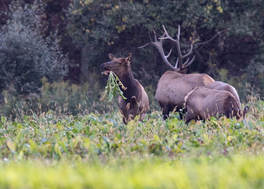 PA Elk (Oct, 2021)