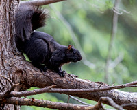 Eastern Gray Squirrel (Black Phase)