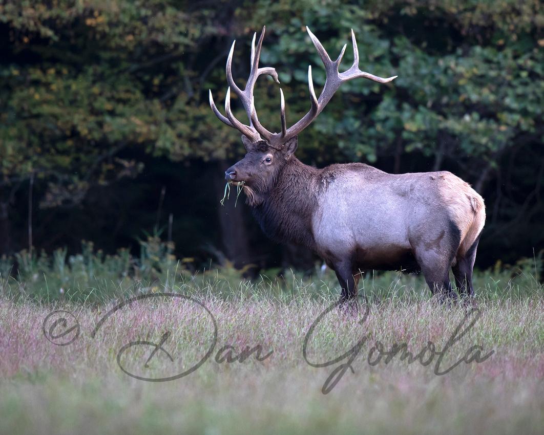 PA Elk (Sept, 2019)