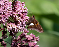Silver-spotted Skipper on Common Milkweed
