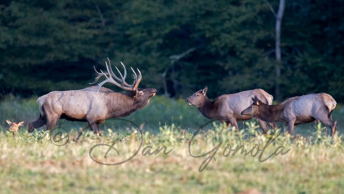 PA Elk (Sep, 2020)