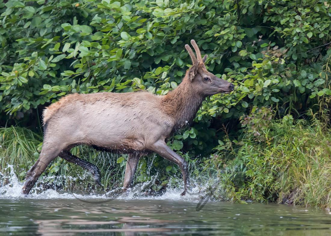 PA Elk (Oct, 2016)