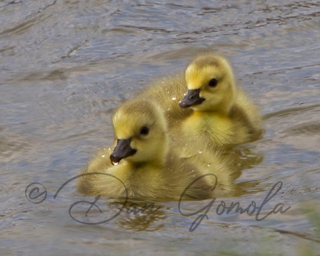 Canada Goose (gosling)