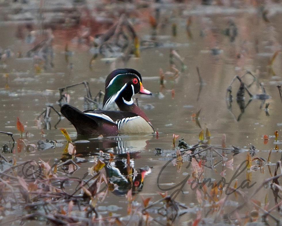 Wood Duck (male)