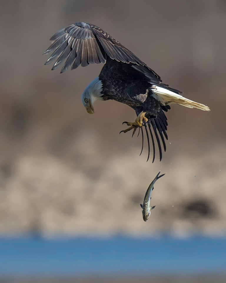 Bald Eagle Drops Its Catch
