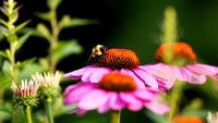 Tricolored Bumble Bee on Cone Flower