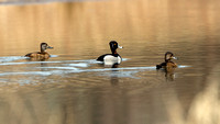 Ring-Necked Duck