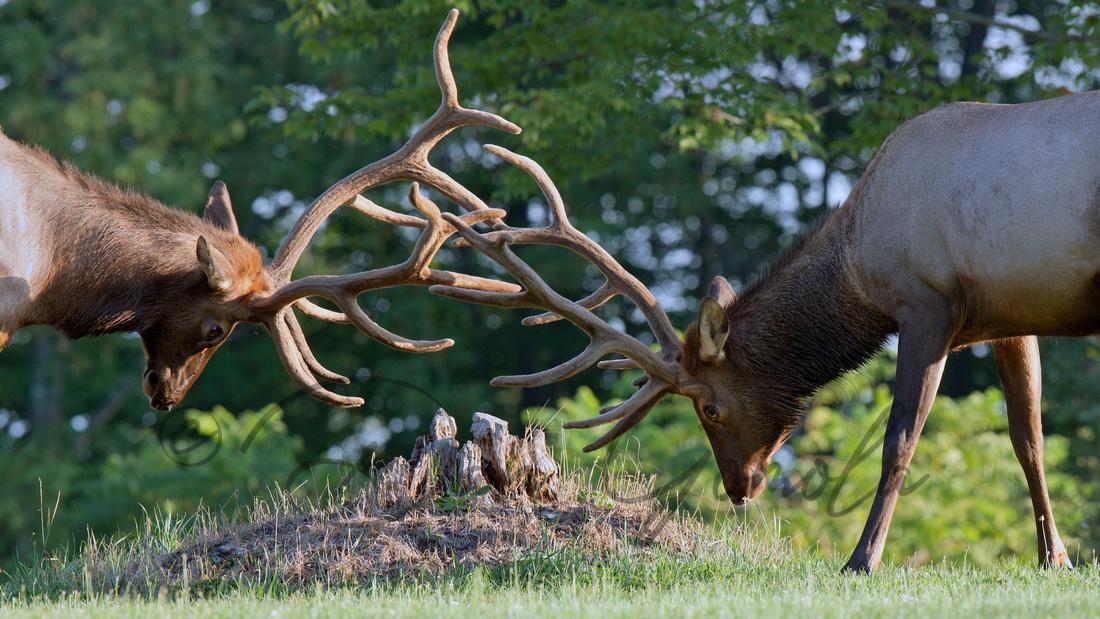 PA Elk (Aug 2015)
