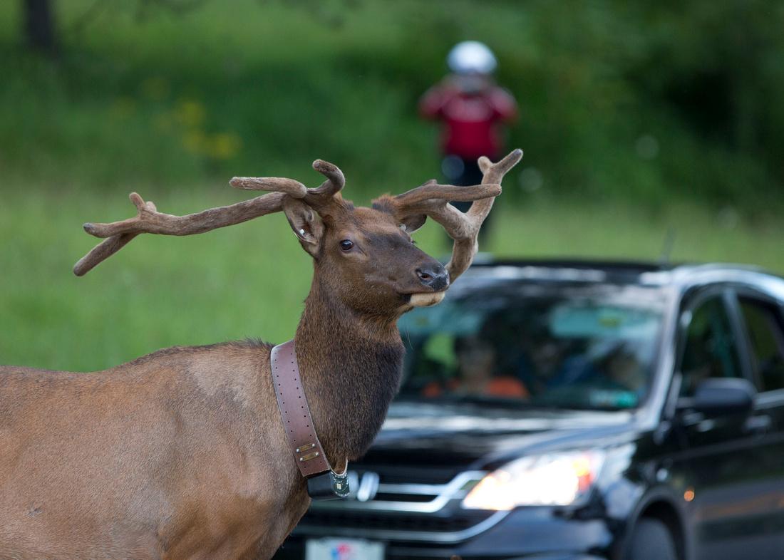 PA Elk (Jul, 2014)