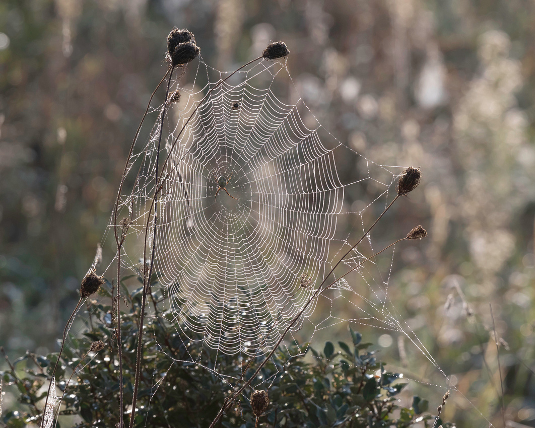 Morning dew on the web of a female Banded Garden Spider