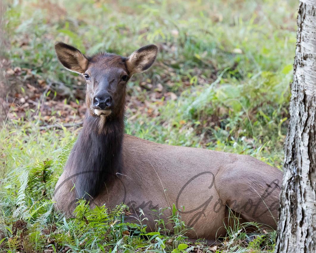 PA Elk (Oct, 2017)