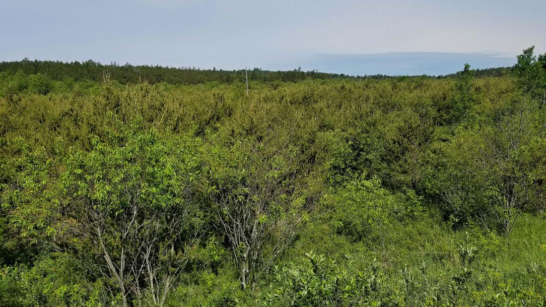 Jack Pine Plantation