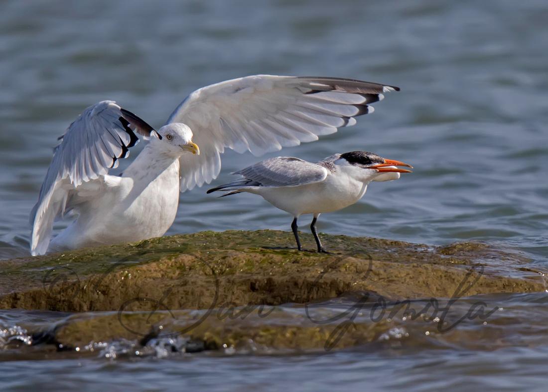 Herring Gull & Caspian Tern