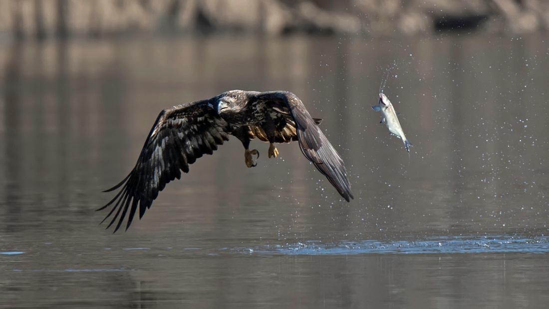 Bald Eagle Missing Fish