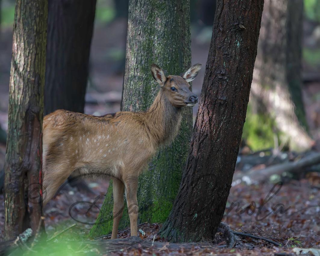 PA Elk (Aug, 2016)
