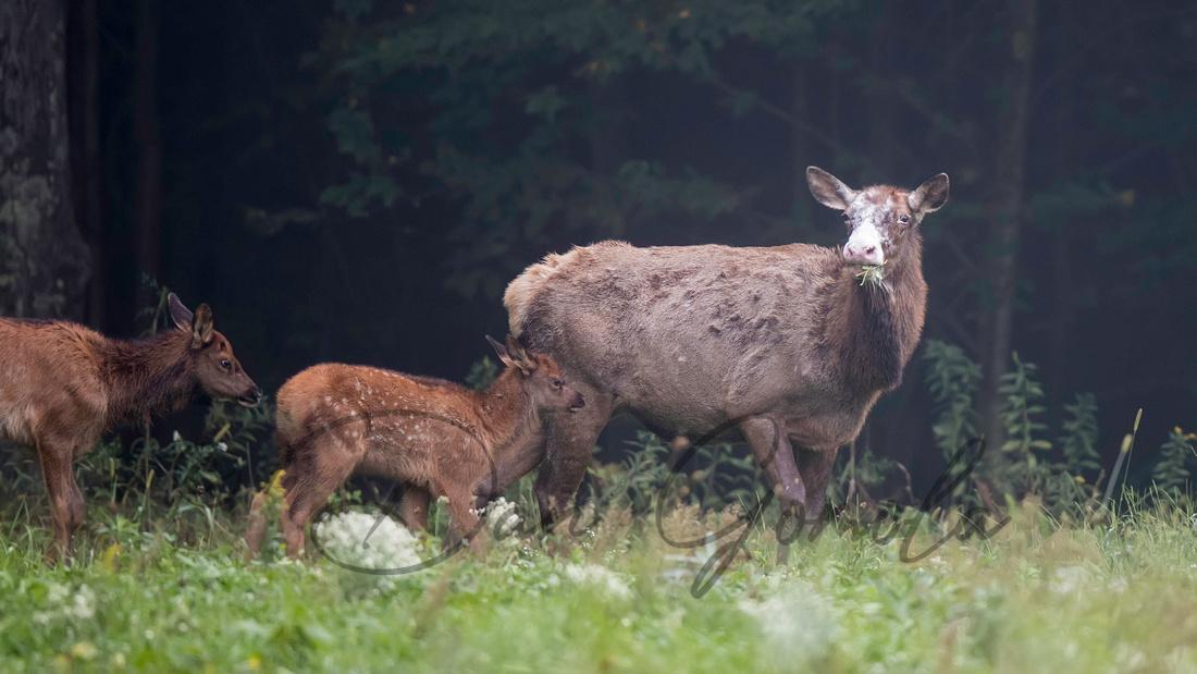 PA Elk (Sept, 2016)
