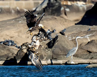 Bald Eagles Chasing After Catching a Fish with Great Blue Heron