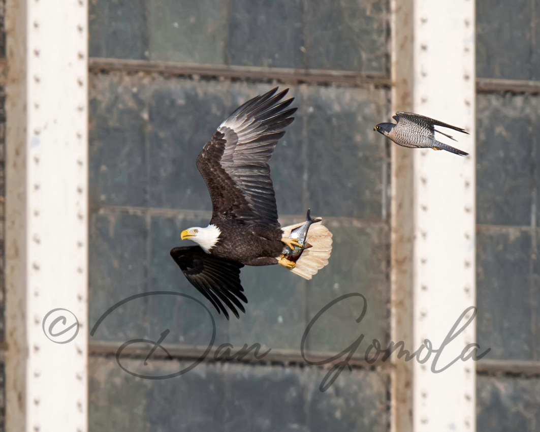 Bald Eagle Chased by Peregrine Falcon